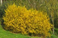 Forsythia floreciente amarillo Foto de archivo