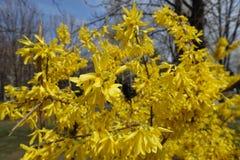 Forsythia floreciente en el jardín en primavera Imagenes de archivo