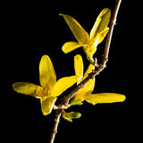 Forsythia Flow Stock Photos