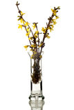Forsythia flower Royalty Free Stock Photos