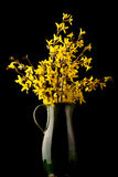 Forsythia flower in bloom stock image