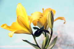 Forsythia flower and blue background Royalty Free Stock Photography