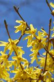Forsythia flower blue sky Royalty Free Stock Photography
