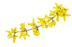 Forsythia Flower Stock Photo