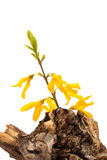 Forsythia flower on a dry stump Royalty Free Stock Photos