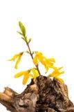 Forsythia flower on a dry stump Royalty Free Stock Photos