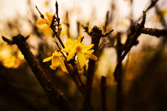 Forsythia flower in pastel decor Royalty Free Stock Images