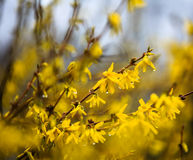 Forsythia flower with rain drops. Forsythia flower twiggs with rain drops hanging on petals Royalty Free Stock Images