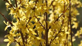 Forsythia. stock footage