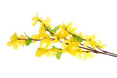 Forsythia Flowers Stock Photography