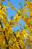 Forsythia flowers Royalty Free Stock Images
