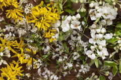 Forsythia flowers and apple tree blossoms on wooden background as still life Stock Image