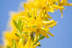 Forsythia flowers  blossom Stock Photo