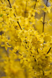 Forsythia flowers branches. Branches of early spring blooms from a yellow forsythia bush Royalty Free Stock Images