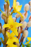 Forsythia flowers and catkins Royalty Free Stock Photography