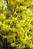 Forsythia flowers Stock Photos