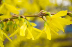 Forsythia flowers Stock Photography