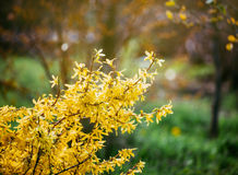 Forsythia flowers in front of with green grass and blue sky. Golden Bell, Border Forsythia Forsythia x intermedia, Forsythia euro Stock Photography