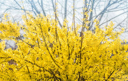 Forsythia flowers in front of with green grass and blue sky. Golden Bell, Border Forsythia Forsythia x intermedia, Forsythia euro Stock Image