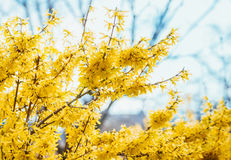 Forsythia flowers in front of with green grass and blue sky. Golden Bell, Border Forsythia Forsythia x intermedia, Forsythia euro Royalty Free Stock Image