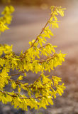 Forsythia flowers in front of with green grass and blue sky. Stock Image