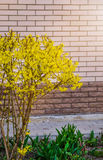 Forsythia flowers in front of with green grass and blue sky. Royalty Free Stock Image