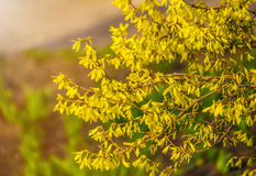 Forsythia flowers in front of with green grass and blue sky. Stock Photos