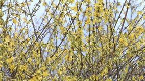 Forsythia flowers in full bloom , yellow, springtime. Forsythia flowers in full Bloom stock footage
