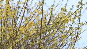 Forsythia flowers in full bloom , yellow, springtime stock footage