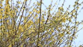 Forsythia flowers in full bloom , yellow, springtime. Yellow forsythia flowers in full bloom stock footage