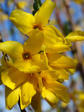 Forsythia flowers Royalty Free Stock Image