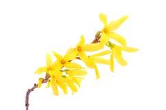 Forsythia flowers isolated on white Stock Photos