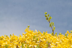 Forsythia Stock Photo