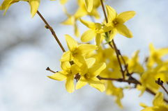 Forsythia flowers. In park,very beautiful Royalty Free Stock Photo