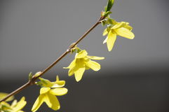 Forsythia flowers. In park,very beautiful Royalty Free Stock Images