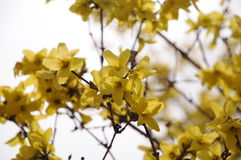 Forsythia flowers. In park,very beautiful Royalty Free Stock Image