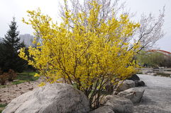 Forsythia flowers. In park,very beautiful Royalty Free Stock Photos