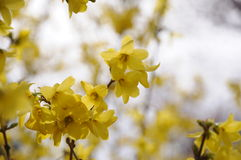 Forsythia flowers. In park,very beautiful Stock Photography