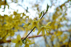Forsythia flowers. In park,very beautiful Stock Images