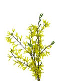 Forsythia flowers on twig Stock Images