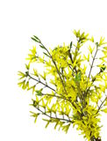 Forsythia flowers on twig Stock Image