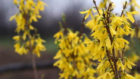 Forsythia flowers video with sound Stock Photography