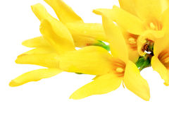 Forsythia flowers on white background.Isolated. Stock Image