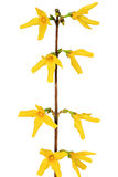 Forsythia flowers on white background.Isolated. Royalty Free Stock Images