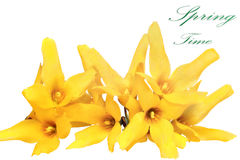 Forsythia flowers on white background.Isolated. Stock Images