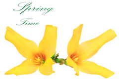 Forsythia flowers on white background.Isolated. Stock Photos