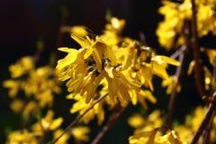 Forsythia flowers. Yellow forsythia flowers on a bush lit sunlight Stock Photos