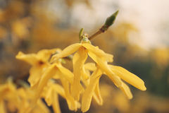 Forsythia (Forsythia x Intermedia) branch Royalty Free Stock Images