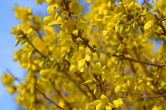 Forsythia in full bloom on a blue sky background. Bright yellow forsythia in full bloom on a blue sky background Royalty Free Stock Photography