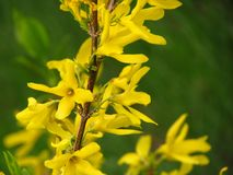 Forsythia on a green background Stock Photography